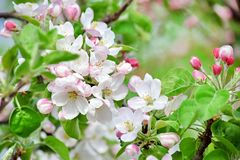 Apple Blossom Bloom Tree White Pink Stock Photo. Spring Apple Blossom Bloom Tree White Pink Stock Photo royalty free stock images
