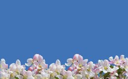 Apple blossom on blue background Stock Photos
