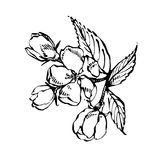 Apple blossom branch isolated on white. Vintage botanical hand drawn illustration. Spring flowers of apple tree. Apple blossom branch isolated on white. Vintage stock illustration