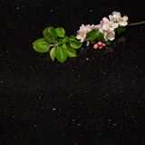 Apple blossom branch on Star Galaxy granite countertop Stock Photography