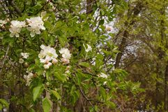 Apple blossom. Apple blossom branch up close Royalty Free Stock Photo
