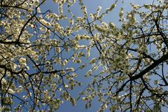 Apple blossom branches Stock Image