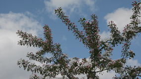Apple blossom in the breeze. Blossom laden branches swaying in a gentle breeze stock video