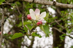 Apple blossom brunch up close. Royalty Free Stock Photography