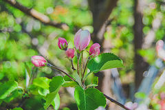 Apple blossom bud. On the trunk Stock Image
