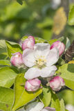 Apple blossom with buds Stock Photos