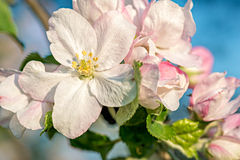 Apple Blossom buds Royalty Free Stock Images