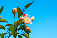 Apple blossom buds Stock Photography