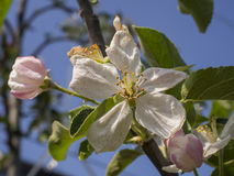 Apple blossom with buds Royalty Free Stock Photography