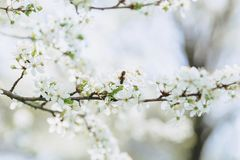Apple blossom or cherry blossom on a sunny spring day. White apple blossom or white cherry blossom on a sunny spring day royalty free stock image