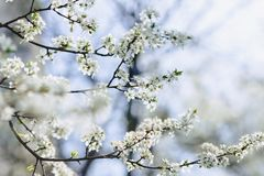 Apple blossom or cherry blossom on a sunny spring day. White apple blossom or white cherry blossom on a sunny spring day stock image