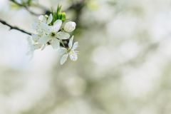 Apple blossom or cherry blossom on a sunny spring day. White apple blossom or white cherry blossom on a sunny spring day royalty free stock photo