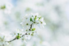 Apple blossom or cherry blossom on a sunny spring day. White apple blossom or white cherry blossom on a sunny spring day royalty free stock photography