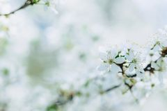 Apple blossom or cherry blossom on a sunny spring day. White apple blossom or white cherry blossom on a sunny spring day stock photo