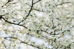Apple blossom or cherry blossom on a sunny spring day. White apple blossom or white cherry blossom on a sunny spring day royalty free stock photos