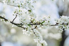 Apple blossom or cherry blossom on a sunny spring day. White apple blossom or white cherry blossom on a sunny spring day stock photography
