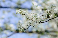 Apple blossom or cherry blossom on a sunny spring day. White apple blossom or white cherry blossom on a sunny spring day stock images