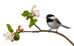 Apple Blossom Chickadee Stock Image