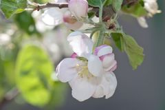 Apple blossom close-up Royalty Free Stock Photos