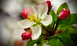 Apple Blossom. A close-up of an apple blossom Stock Image
