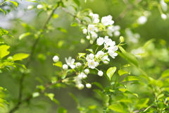 Apple blossom Royalty Free Stock Photography