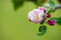 Apple Blossom. Close up background royalty free stock photography