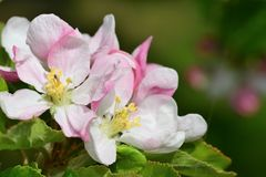 Apple blossom. Close up of apple blossom in bloom Stock Image