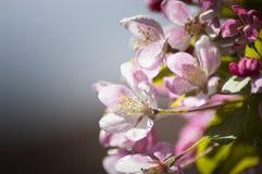 Apple blossom. Close up dark background Stock Photography