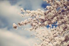 Apple blossom. Close up dark background Stock Photos