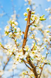 Apple blossom close-up. Royalty Free Stock Photos
