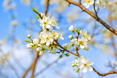 Apple blossom close-up. Royalty Free Stock Photography