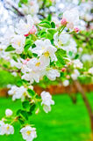 Apple blossom close-up. Royalty Free Stock Images