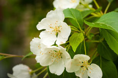 Apple blossom close-up Royalty Free Stock Photo