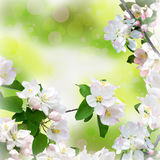 Apple blossom close-up. Spring background. Bokeh and bright ligh Royalty Free Stock Image