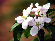 Apple blossom close-up. Stock Image