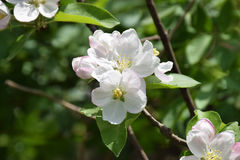 Apple blossom close-up. Spring. A new beginning. Stock Photos