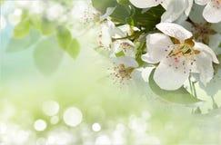 Apple blossom close-up. Royalty Free Stock Photo