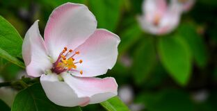 Apple blossom closeup Royalty Free Stock Photo