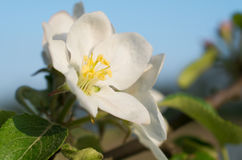 Apple blossom closeup on blue sky background. Apple blossom on blue sky background Royalty Free Stock Photography