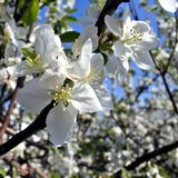 Apple blossom closeup in early sunny morning. Apple blossom closeup on blue sky background Stock Photography