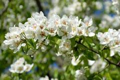 Apple blossom closeup. Apple blossom flowers branch closeup Stock Photos