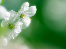 Apple blossom closeup. On green fresh spring background Stock Images