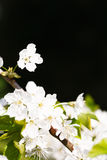Apple blossom copyspace Royalty Free Stock Photography