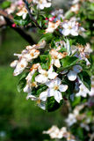 Apple blossom damaged by morning frost in region of prespa,macedonia Stock Photos