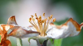 Apple blossom damaged by morning frost in region of prespa,macedonia Royalty Free Stock Images