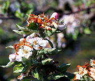 Apple blossom damaged by morning frost in region of prespa,macedonia Royalty Free Stock Photo