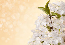 Apple blossom detail. Apple tree blossoms and branch on beige background Royalty Free Stock Image