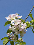 Apple Blossom in an English Garden in Lancashire Stock Photos
