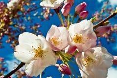 Free Apple Blossom Flower Stock Image - 57884491