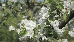 Detail of fall petals on spring theme. Apple blossom flower. Apple blossom flower, trees in background. Detail of fall petals on spring theme. White flower with stock video footage